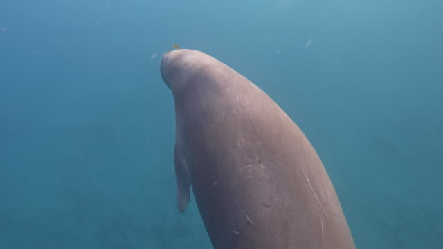 male dugong ( sirenia ) swimming in red sea - marsa alam - egypt - lamantino video stock e b–roll