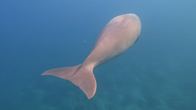 male dugong ( sirenia ) swimming in red sea - marsa alam - egypt - manatee stock videos & royalty-free footage