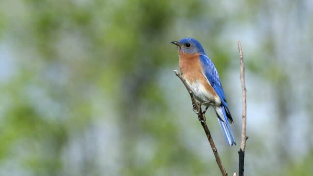 vídeos y material grabado en eventos de stock de ws male eastern bluebird perching on branch  / tweed, ontario, canada - azulejo