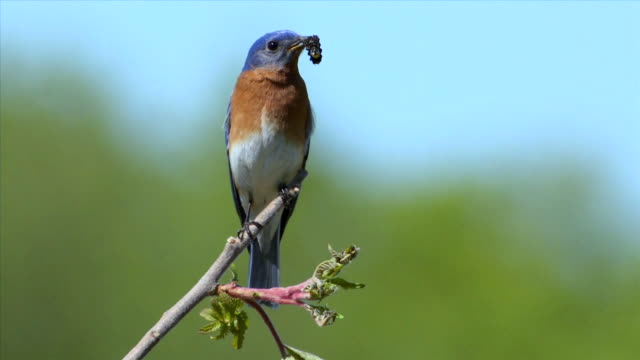 ws male eastern bluebird perching with caterpillar in mouth / tweed, ontario, canada - ast pflanzenbestandteil stock-videos und b-roll-filmmaterial