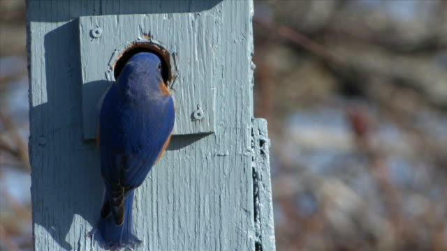 MS Male eastern bluebirds at nest box / Tweed, Ontario, Canada