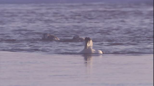 a male eider duck bathes in a polynya in the canadian arctic. available in hd. - eider duck stock videos & royalty-free footage