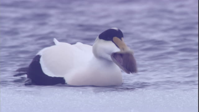 A male eider duck struggles to swallow an urchin on a polynya ice lake in Arctic Canada. Available in HD.