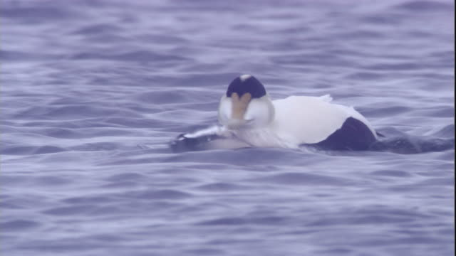 a male eider duck swims on a polynya ice lake in arctic canada. available in hd. - eider duck stock videos & royalty-free footage