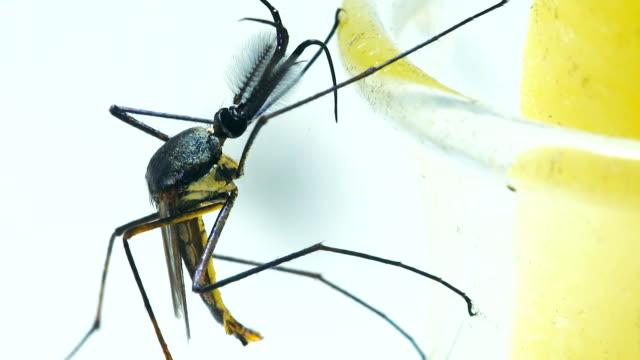 male elephant mosquito (toxorhynchites splendens) - netting stock videos & royalty-free footage