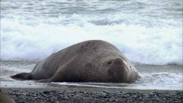 Male Elephant Seal lying