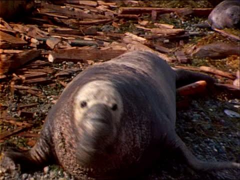 a male elephant seal vocalizes before joining other seals on a beach. - elefantsäl bildbanksvideor och videomaterial från bakom kulisserna