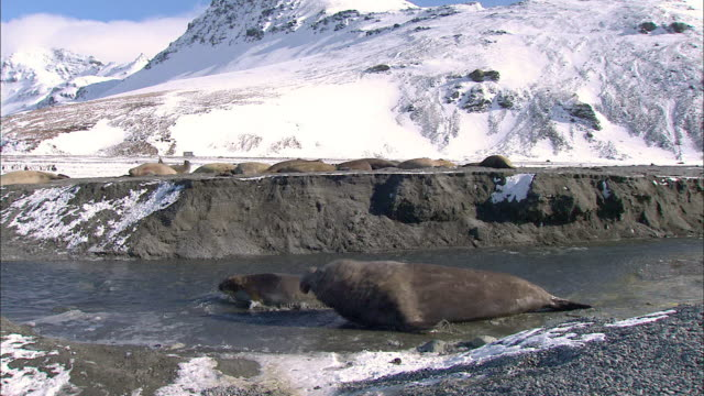 male elephant seals courting - elephant seal stock videos & royalty-free footage