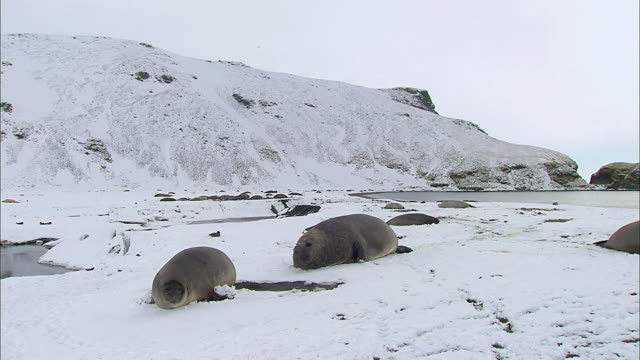 Male Elephant Seals courting