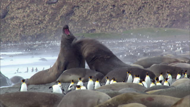male elephant seals fighting - 攻撃的点の映像素材/bロール
