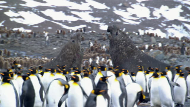 male elephant seals roaring and fighting among penguins - seals stock videos and b-roll footage