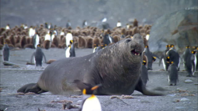 Male Elephant Seals roaring