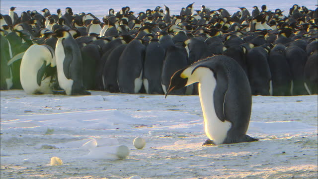 Male Emperor penguin looking at the egg that is slid away from him