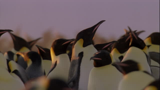 Male Emperor penguins excitedly raise their heads.
