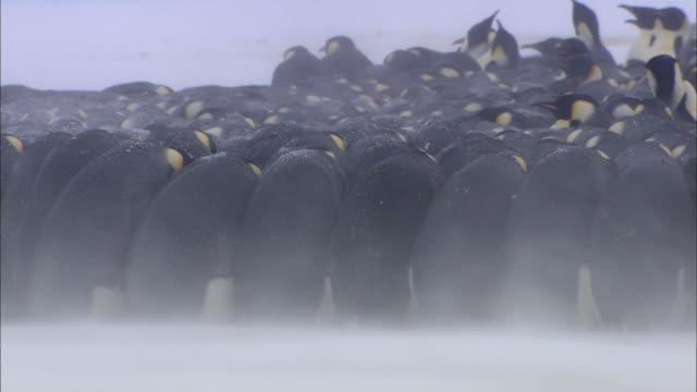 Male Emperor penguins huddling