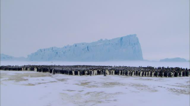 vídeos de stock, filmes e b-roll de male emperor penguins huddling - grupo grande de animais