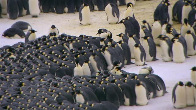 vídeos de stock e filmes b-roll de male emperor penguins huddling - animal macho