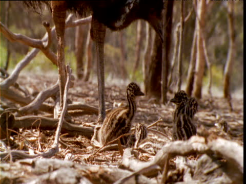 male emu examines his nest of chicks, victoria - emu stock videos & royalty-free footage
