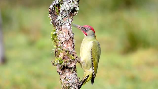 male european green woodpecker on a branch - 地衣類点の映像素材/bロール