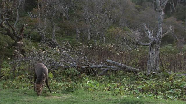 Male Ezo deer in Hokkaido