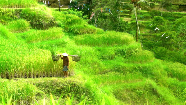 vidéos et rushes de male farm worker carrying rice harvest in bali - bamboo plant