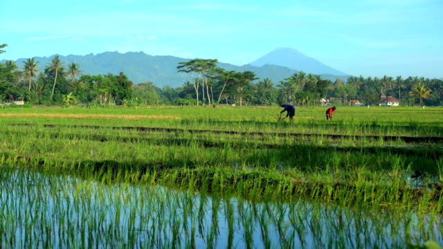 male farm worker irrigating rice field java indonesia - reis grundnahrungsmittel stock-videos und b-roll-filmmaterial