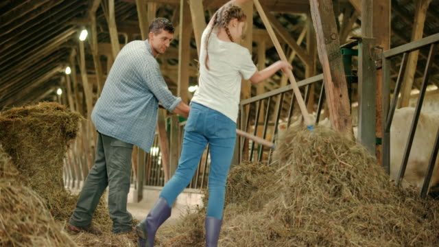Male farmer and his daughter pitching hay to the cattle in the barn