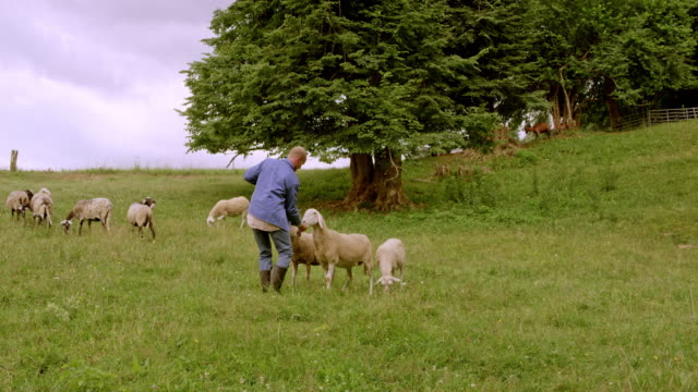 male farmer bringing the sheep into the pasture and giving the treats - ovino video stock e b–roll