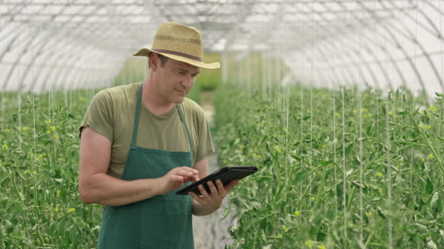 Male farmer checking tomatoes in the greenhouse using a digital tablet