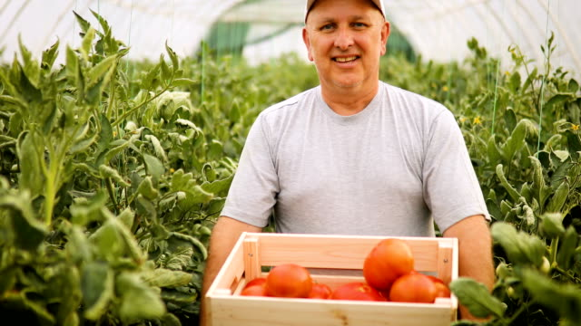 male farmer checking tomatoes in the greenhouse - 50 59 years stock videos & royalty-free footage
