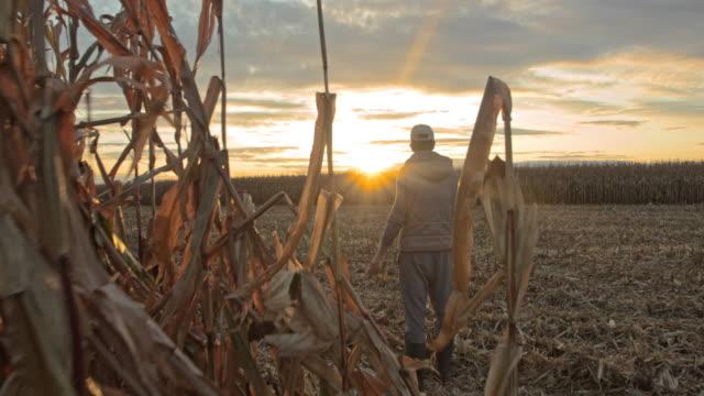 vídeos de stock, filmes e b-roll de fazendeiro masculino de ws que examina a colheita de milho em um campo no por do sol - ensolarado