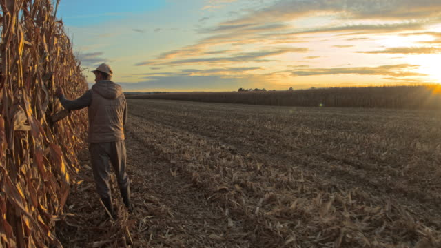 ws male farmer examining crops of corn - end cap stock videos & royalty-free footage