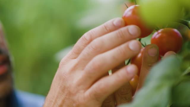 vídeos y material grabado en eventos de stock de agricultor masculino examinando tomates en su invernadero - freshness