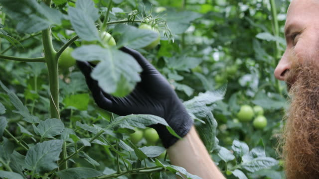 male farmer examining unripe tomatoes at farm - unripe stock videos and b-roll footage