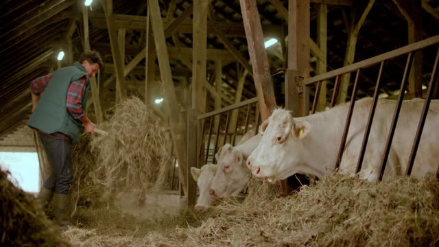 male farmer feeding his cattle hay in the barn - pitchfork agricultural equipment stock videos & royalty-free footage