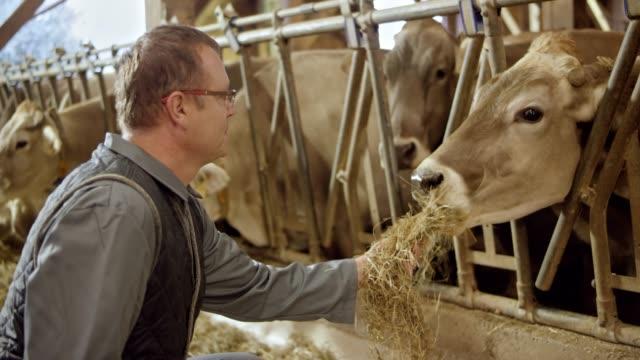 Agriculteur l'alimentation de la vache à la main et l'observant