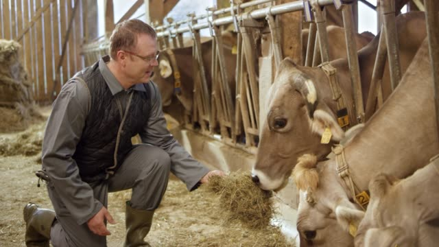 male farmer feeding the cows by hand in the barn and observing them - fieno video stock e b–roll