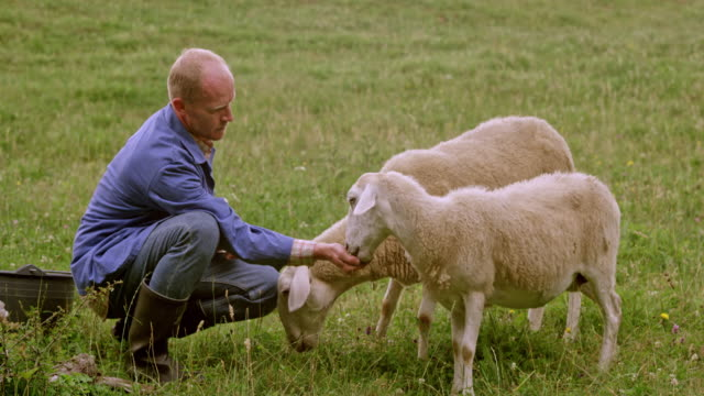 male farmer giving the sheep some treats from his hand in the pasture - ovino video stock e b–roll