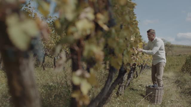 male farmer harvesting fresh grapes - uva video stock e b–roll