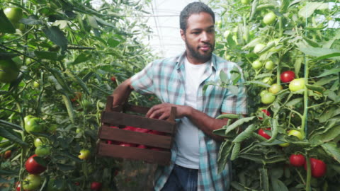 male farmer harvesting fresh organic tomatoes. - organic farm stock videos & royalty-free footage