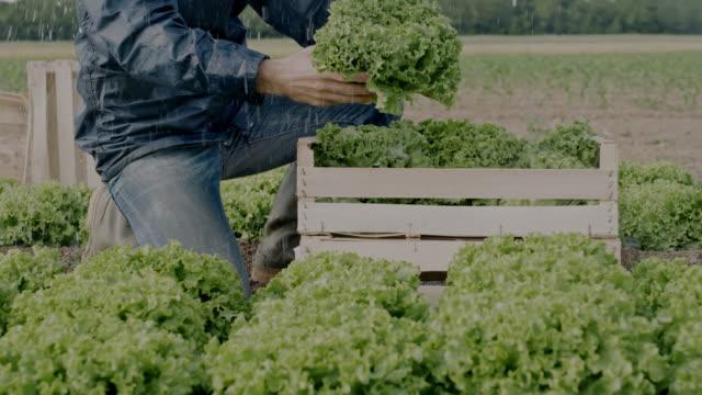 slo mo männlicher landwirt pflücken salat auf einem feld im regen - holzkiste stock-videos und b-roll-filmmaterial