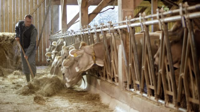 male farmer pitching hay to cattle in the barn - farmer hay stock videos & royalty-free footage