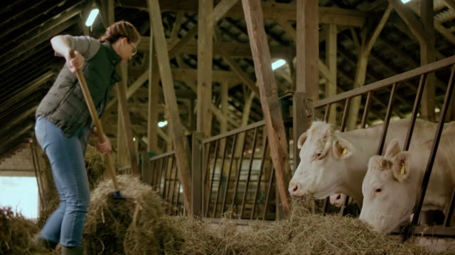 male farmer pitching hay to her cattle in the barn - fieno video stock e b–roll