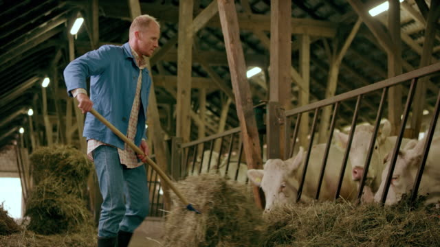 male farmer pitching hay to his cattle in the barn - fieno video stock e b–roll