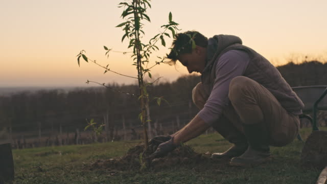 ms male farmer planting fruit tree on rural hillside at sunset - planting stock videos & royalty-free footage