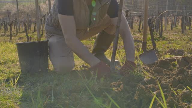 ms male farmer planting fruit tree on sunny,rural hillside - gardening glove stock videos & royalty-free footage