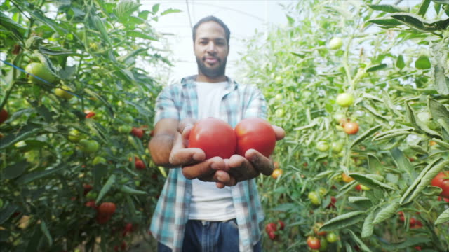 male farmer showing his organic tomatoes production. - local produce stock videos & royalty-free footage