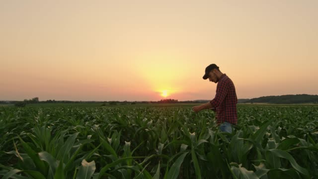 male farmer with digital tablet examining corn in idyllic,rural field at sunset,real time - cap hat stock videos & royalty-free footage