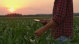 Male farmer with digital tablet examining corn in idyllic,rural field at sunset,real time