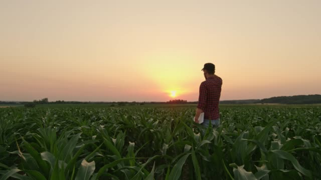 Male farmer with digital tablet in idyllic,rural corn field at sunset,real time
